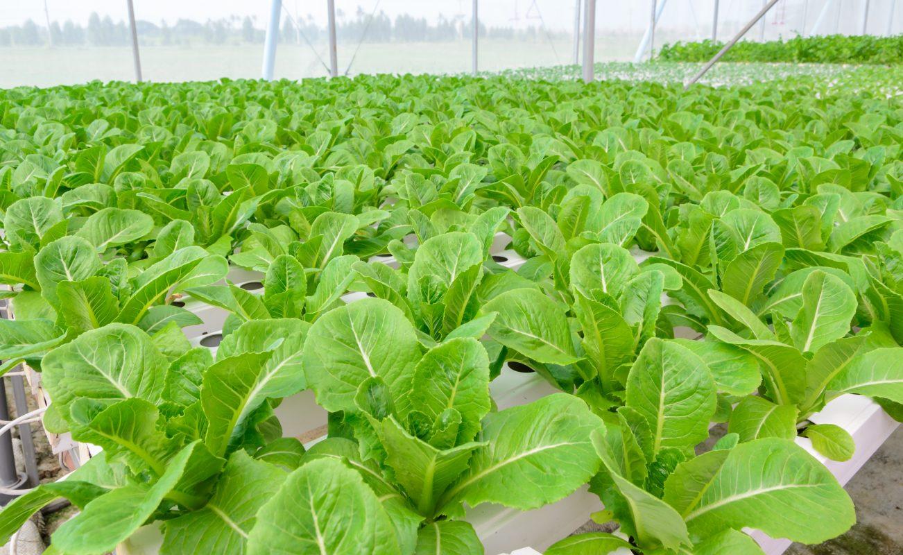 indoor gardening lettuce